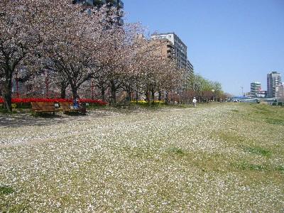 桜の絨毯がきれい